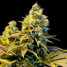 Northern Lights XTRM marijuana - AMS