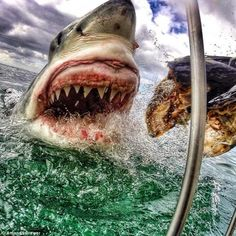 Google+ Up-close-and-personal photograph of a great white shark  New Jersey art teacher Amanda Brewer took the shot with a GoPro while volunteering with the animal conservation group White Shark Africa.  Source: http://www.grindtv.com/outdoor/nature/post/stunning-great-white-shark-image-just-luck/