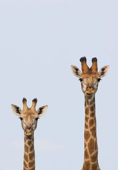 Giraffe Portrait Photo by Craig Morrison -- National Geographic Your Shot