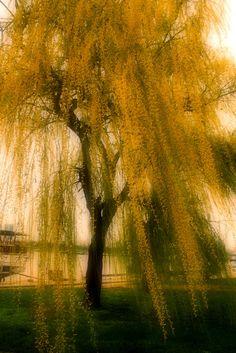 Willow - ヤナギ