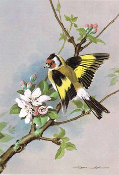 Goldfinch - 1980 Vintage Bird Print by Basil Ede