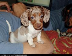 Precious little Doxie puppy, so sweet ♥ I Love Dogs, Puppy Love, Cute Dogs, Baby Animals, Cute Animals, Weenie Dogs, Dog Rules, Crazy Dog, Puppy Pictures