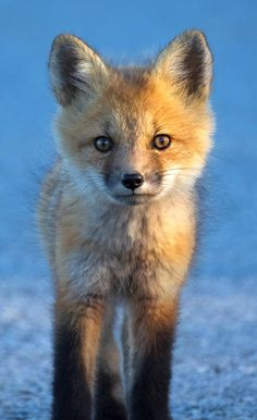~~Curious Approach | Fox Cub by Peter Baumgarten~~