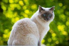 Голубоглазые кошки породы рэгдолл