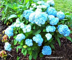 Hydrangeas make gorgeous cut flowers that last for days. I got two huge vases of hydrangea flowers today and the bushes are still gorgeous. Hydrangea Bush, Hydrangea Care, Hydrangeas, Hydrangea Color Change, Hydrangea Colors, Coffee Grounds For Plants, Hydrangea Fertilizer, Flowers Today, Cut Flowers