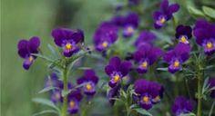 violets love love love,   www.carolyneroehm.com