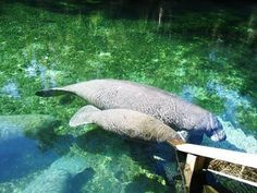 Blue Springs State Park in Deland, Florida... all i remember is being terrified of swimming with the manatees! - check!