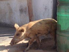 el cerdo wayuu Meet, Animals, Piglets, Animaux, Animal, Animales, Animais
