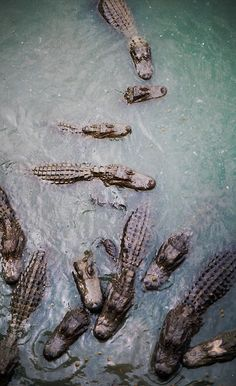 alligators - we have somewhere over one million that call Louisiana home. We just shue them off the porch with a broom LOL