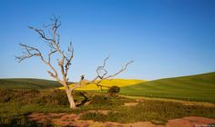 Tree of wisdom Afrikaans, South Africa, Cape, Wisdom, Explore, Mountains, Plants, Travel, Mantle