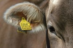 #albeinmalga #details #cow #trentino @Visit Trentino