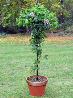 Our Umbrella Tuteur is a beautiful way to enjoy flowering vines like Passion Flowers and Clematis in pots on patios, decks and driveways. Use any large pot that has a bottom-center drainage hole. The