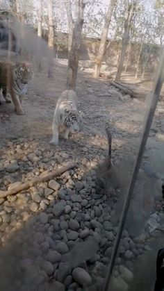 THE HILARIOUS moment a feisty goose fends off two tigers has been gone viral after the animal appears to claim the zoo enclosure as its new turf. The incident, which was filmed at the Baoding Agricultural Ecological Park in the Chinese province of Hebei, captured the moment the courageous bird faced off against the two mammals in a clip that has now been widely shared on social media. In the footage, two tigers are seen stalking the lone goose in front of a crowd of onlookers The bird then sudde Norway News, Tigers Live, White Bengal Tiger, Big Cats, Ecology, Mammals, Crowd, Survival, Hilarious