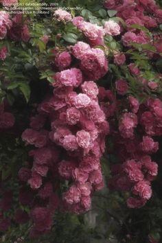 Dimensioni dell'immagine Pieno di Floribunda Rose, Rose Rambler, Wichurana Rose 'Dorothy Perkins' ( Rosa )