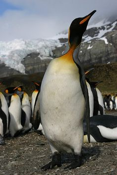 Long Neck, King Penguin