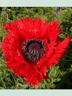 Bildergebnis für Orientalischer Gartenmohn Patty´s Plum