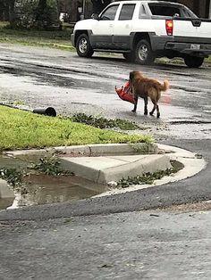 Resourceful Dog Walks Away With Bag Of Dog Food After Hurricane Harvey | HuffPost