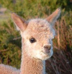 Visit an Alpaca ranch -- NorCal Silver Sun Alpacas Happy Animals, Farm Animals, Animals And Pets, Cute Animals, Baby Alpaca, Llama Alpaca, Beautiful Creatures, Animals Beautiful, Alpacas