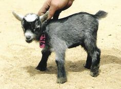 Just Listed - New Hand raised  African Pygmy bottle baby doe kid just listed Show quality. e-mail for more information.  Pickup only in about 10 days.  Ship at 8 weeks. debbie@amberwaves.info
