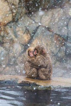 """plasmatics-life: """" Hold Me ~ By Peter Denniss """" Cut Animals, Animals And Pets, Baby Animals, Cute Creatures, Beautiful Creatures, Animals Beautiful, Primates, Monkeys In Hot Springs, Animal Hugs"""