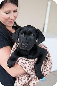 Adopted! McKinney, TX - Labrador Retriever Mix. Meet Zulu a Puppy for Adoption.