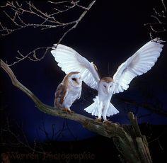 Photograph of Barn Owl (Tyto alba) pair, male alighting beside female. Rights managed image. Owl Photos, Owl Pictures, Beautiful Owl, Animals Beautiful, Owl Bird, Pet Birds, Tyto Alba, Owl Wings, Bild Tattoos