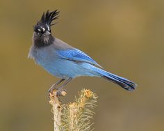 steller's jay  (photo by Tringa photography)  birds of a feather