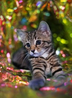 Aww!  So adorable! Kitty, kitten, stribed, pet, killing, cute, nuttet, adorable, sweet, precious, photo