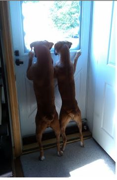 boxers are curious little kids, just love them #boxerlove