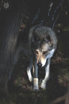 Wolfdog Bohun Into the Woods
