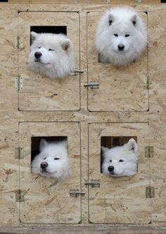Cani da slitta in Slovacchia