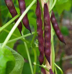 Cherokee Trail of Tears Pole Beans