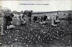 Récolte du safran a Pithiviers