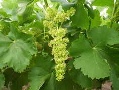 TORRONTES Grapes (Argentina) Wine Varieties, White Wine, Herbs, Fruit, Argentina, The Fruit, White Wines, Herb, Spice