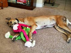 Myra is home forever as a foster failure.  She has a greyhound mix buddy to enjoy! Congrats!
