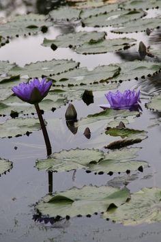 Fenêtre Sticker bleue Nénuphars Film De Fenêtre Fleurs Pétales Water Lily Blue Sticker