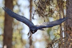"""liminalbeast: """" Raven - Incoming by JestePhotography """""""
