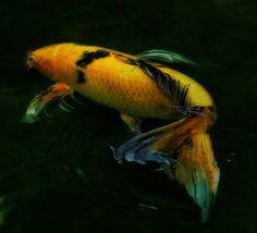 Koi-Under the Sea-God's Aquarium
