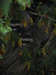 baby raccoons in my sister's yard
