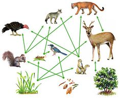 Food Webs The energy and nutrient connections in nature are more accurately shown by a food web than by a food chain. A food web is a diagram that shows the feeding relationships between...  An example of a food web