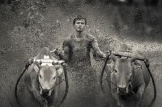 The Bull Racer by BP Chua  on 500px.... #Indonesia #Pacu #Pacu Jawi #animal #black and white #bukittinggi #bull #bull race #fast #human #jawi #monochrome #mud #padang #race #racing #speed #sport #travel #village #water