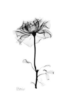 Blooming rose in black and white art prints by Albert Koetsier at AllPoste . White Flower Tattoos, Black Tattoos, Body Art Tattoos, Small Tattoos, Black And White Flower Tattoo, Black And White Flowers, Water Color Tattoos, Sleeve Tattoos, Calla Lily Tattoos