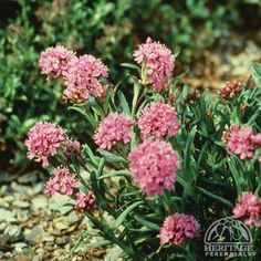 """Lychnis alpina: Z1, 6x8"""", tolerant of light foot traffic, short-lived but will often self sow in well-drained locations, tolerating poor sandy or gravel soils; forms a low tufted mound bearing clusters of tiny bright-pink flowers in late spring. *Native North American Arctic wildflower; Ruggedly hardy, but happiest in cool-summer regions."""