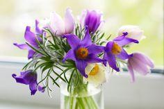 https://flic.kr/p/eigWxr | 181/365 - Pasque-flowers
