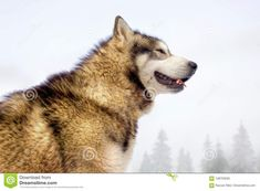 Detailed side portrait - headshot of a Siberian Husky dog looking like a wild grey wolf. Looking pround and dangerous. Winter background  dangerous,dog,grey,husky,looking,portrait,siberian,wild,winter,wolf,alfa,alpha,animal,arctic,beast,beautiful,breed,canadian,canine,canis