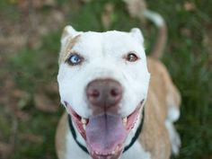 TO BE DESTROYED 7/29/14 Manhattan Center -P  My name is ZYDECO. My Animal ID # is A1007373. I am a female tan and white pit bull mix. The shelter thinks I am about 3 YEARS old.  I came in the shelter as a STRAY on 07/19/2014 from NY 11428, owner surrender reason stated was STRAY. https://www.facebook.com/Urgentdeathrowdogs/photos/a.611290788883804.1073741851.152876678058553/842274655785415/?type=3&theater