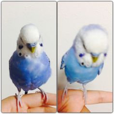 Budgie can expand.  #budgie #parakeet