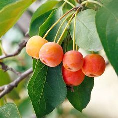 Crabapple - to attract the greatest variety of songbirds, select cultivars with small fruits that hang on through the winter. Berry Plants, Fruit Plants, Fruit Trees, Garden Trees, Garden Plants, Outdoor Plants, Outdoor Spaces, Red Twig Dogwood, Fast Growing Evergreens