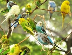 #budgies...Casey, my budgie was turquoise with yellow and white.  Loved that bird.