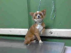 URGENT - A4679621 I'm an approximately 8 month old male chihuahua lh. I am not yet neutered. I have been at the Carson Animal Care Center since February 25, 2014. I will be available on March 1, 2014. You can visit me at my temporary home at C103.  Carson Shelter  216 Victoria Street, Gardena, California 90248 https://www.facebook.com/media/set/?set=a.172032662969376.1073741830.171850219654287&type=3